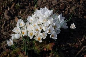 In Weiß finde ich Krokusse am schönsten.